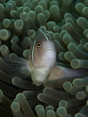 Pink anemonefish (Paul Flandinette) Tags: ocean fish photography nikon underwater clownfish anemonefish komodo underwaterphotography nemofish pinkanemonefish amphiprionperideraion beautifulfish paulflandinette