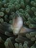 Pink anemonefish (Paul Flandinette) Tags: ocean fish photography nikon underwater clownfish anemonefish komodo underwaterphotography nemofish pinkanemonefish amphiprionperideraion beautifulfish paulflandinette