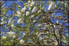 Callistemon citrinus - Limpiabotellas (Pilar Azaa Taln ) Tags: callistemoncitrinus mywinners limpiabotellas citrit betterthangood vosplusbellesphotos flickrflorescloseupmacros pilarazaa