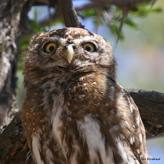 Go away, you woke me up! (willievs) Tags: bird southafrica wildlife aves owl uil owlet kgalagadi glaucidiumperlatum pearlspottedowlet witkoluil