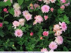 Krysantemum Pink Chrysthanthemums 2009-09-03 166 (Badger 23 / jezevec) Tags: pink flower fleur indianapolis flor indiana mums mum bunga  blume fiore 2009 roze bloem chryzantema       jezevec  chrysanthemen kvt kasmpat chrysthanthemum    vbr   krysantemum 20090902 rowa   seruni krizantm  pokok wabigon  badger23 rausva okseje skaistaied kekwa  crisantemu krysanteemit i