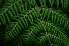 244/365 - Fern (AmyKClark!) Tags: plants fern green project365 2ndchance flickrchallengewinner thechallengefactory storybookwinner