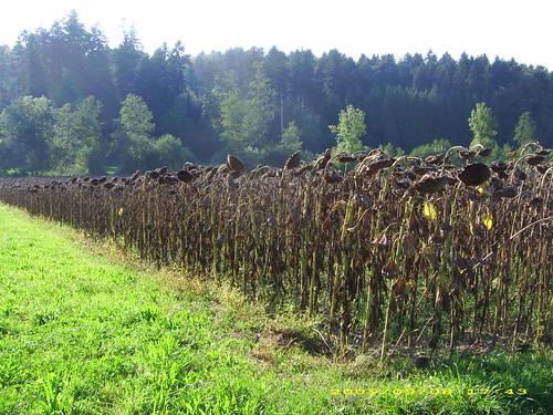 Sunflowers Schalunen