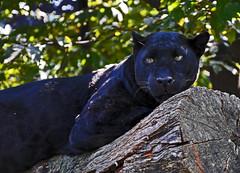 pantera nera (Ipanem-2009) Tags: homersiliad