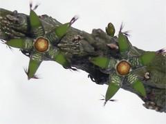 Rhytidocaulon macrolobum green flower (frncscg) Tags: apocynaceae asclepiadaceae asclepiads rhytidocaulon