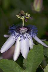 Passion Flower (NYBG) Tags: new york nyc travel flower nature beauty garden botanical star natural blossom bronx passion bloom destination passiflora nybg clevedon