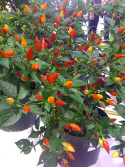 NuMex Twilight Chili Plant