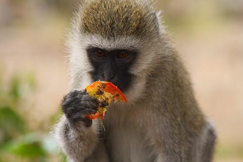 Vervet Monkey by hlemmur.