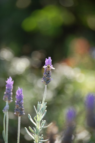 busy bees in the lavender