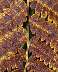 Autumn Fern Pattern (bobj03054) Tags: nature newhampshire fractal ferns