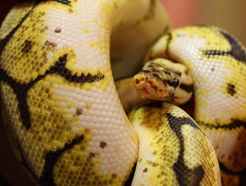 Bumblebee Morph Ball Python