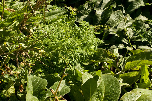 Edible Forest Gardens: comfrey and cicely