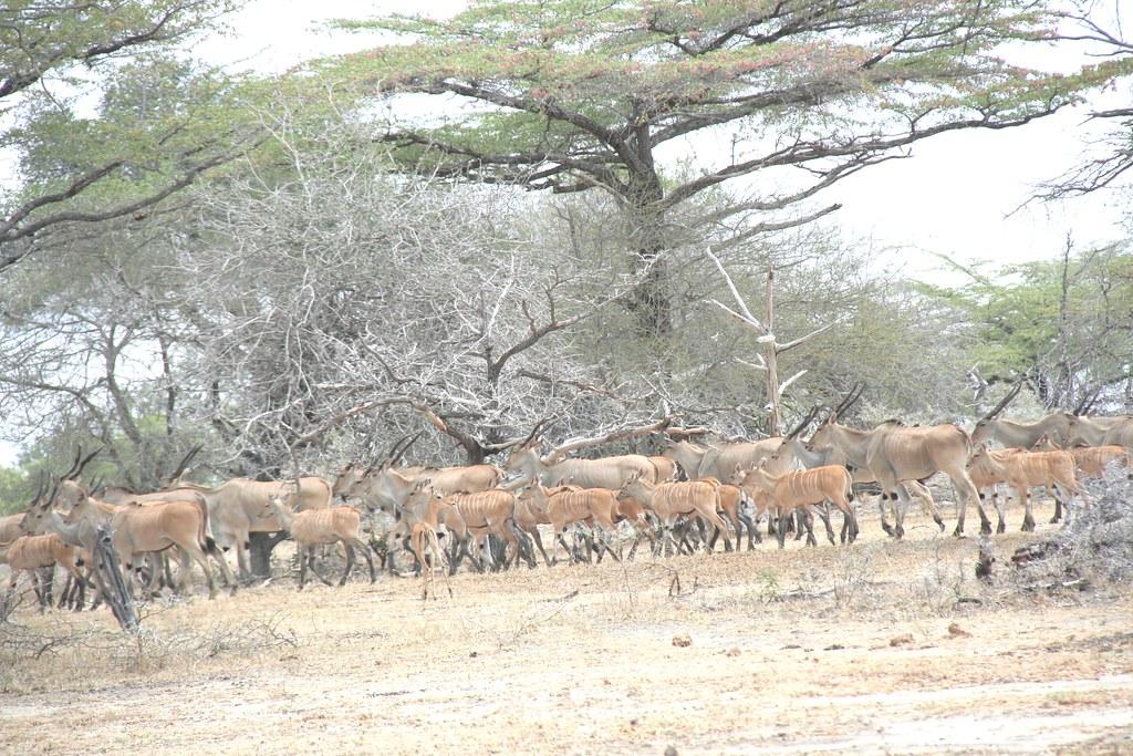 Herd of Elands - Selous GR, Tanzania