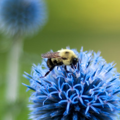 diligence (nosha) Tags: flowers flower macro nature beautiful beauty minnesota insect 50mm wings nikon bokeh july bee bumblebee f18 mn 2009 lightroom 50mmf18 blackmagic nosha 0ev 1250sec natureycrap centerweightedaverage nikond300 1250secatf18 ul20090809 18augulh