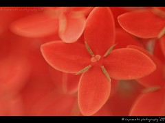 Bathed in red - Ixora ($) Tags: red flower macro ixora narrowdof macroexperiment lsp09photography