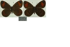 Erebia hewitsonii
