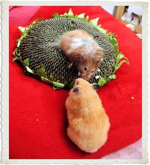Szarotka & Chmurka (pyza*) Tags: birthday pet girl beauty animal rodent princess critter legendary hamster grumpy syrian chimi hammie loveyouforever chmurka chomik