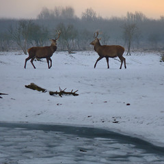 Red Deer in the Dutch wintry polder (Bn) Tags: birds fauna topf50 vogels horns goose antlers amphibians mammals topf100 wildhorses reddeer flevoland brantacanad
