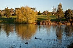 Lake in Auckland Botanical Gardens (russellstreet) Tags: sunset newzealand sun reflection bird water auckland anasplatyrhynchos nzl mallardduck aucklandregion aucklandbotanicalgardens manakaucity