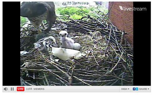 Violet Feeding Her Hatchling_1