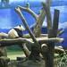 Taipei Zoo Pandas1