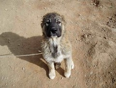 THIS IS BOBBY, A TINY PUP NEEDING HELP IN AFGHANISTAN.  HELP US TO HELP HIM AND THE OTHERS LIKE HIM THAT FACE STARVATION, VIOLENCE, CRUELTY EVERYDAY. WE HAVE RAISED 513.36 SO FAR TO HELP, HELP US TO RAISE MORE BY COMING TO COLEBROOK CARNIVAL, JUNE 25TH A (Lady Of The Hounds) Tags: