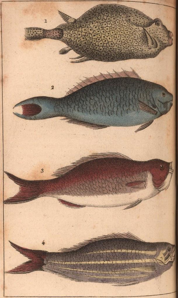 Poisson de Mer . 1. l'Ostracion à bec et à deux piquans. 2. Coryphène Perroquet. 3. Spare Cardinal. 4. Bodian Vivano.