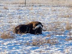 Yukon Wildlife Preserve, Whitehorse. (BethR.photography) Tags: wildlifeanimalsyukoncaribou lynx rockymountainelk mountaingoats alaskayukonmoose muskoxen woodbison thinhornsheep redfox