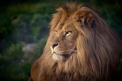 profile de lion (rondoudou87) Tags: lion pentax k1 parc zoo reynou sauvage smcpda300mmf40edifsdm nature natur sunlight wildlife wild