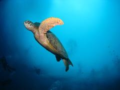 Green Turtle at Sipadan
