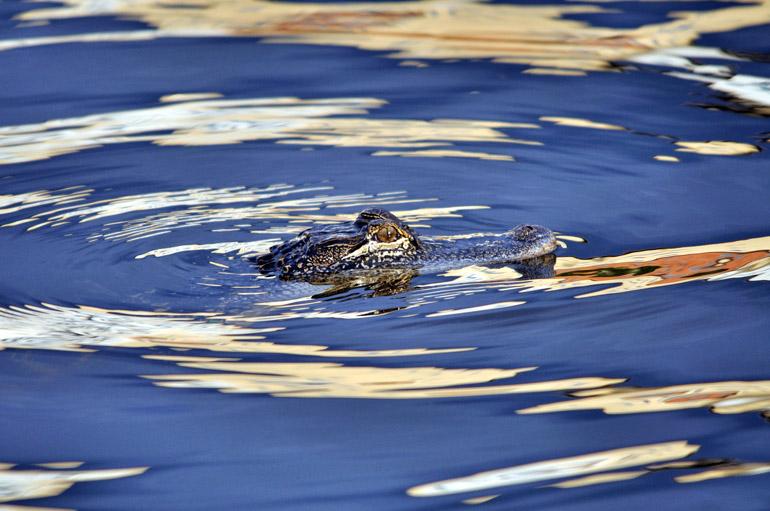 alligator_0299