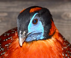 Temminck's Tragopan (P. Stubbs photo) Tags: pheasant pheasants gmt tragopantemminckii temminckstragopan aviculture galliformes vanagram