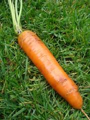 Eerste wortel geoogst Gelukkig een stuk langer dan vorig jaar... 52 gram