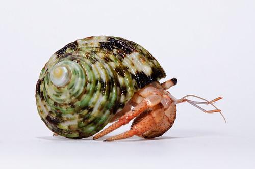 Hermit_crab-6
