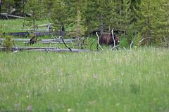 Wild Yellowstone Grizzly Bear