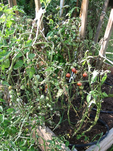 Poor Blighted Tomatoes
