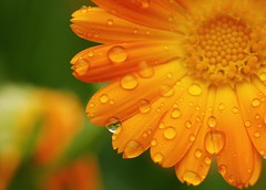 drippy. (gardinergirl) Tags: summer orange toronto flower macro green rain petals highpark blossom bokeh bloom waterdrops calendula explored 60mm28micro