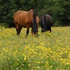 Horses (CmdrGravy) Tags: flowers horses field glue yellowflowers grazing vicious blackhorse fattening gluttons brownhorse sometrees bidingtheirtime