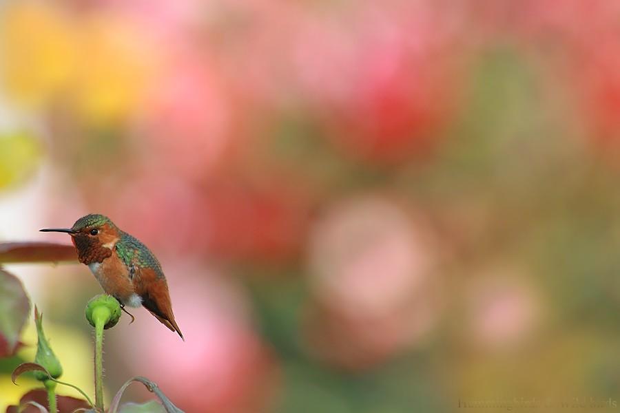 Allen's Hummingbird04091