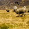 Alpaca, La Rinconada, Puno, Pérou