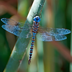 I spy a dragonfly... (Images by John 'K') Tags: california sunnyvale dragonfly september photoaday 2009 johnk shieldofexcellence d5000 sunnyvalewetlandspreserve johnkrzesinski randomok