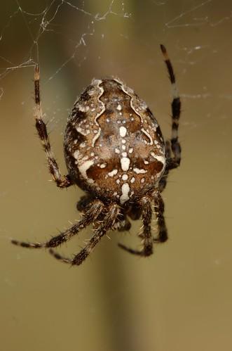 Araneus diadematus | Kruisspin - European garden spider