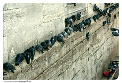 arrayal of freedom troops (pedramatic) Tags: birds wall canon turkey freedom pigeon free istanbul troops   yenicamii  ranks pedram     platinumphoto ultimateshot arrayal canoneos450d    pedramatic  arrayaloffreedomtroops    birdsline    yenicamiimeydani
