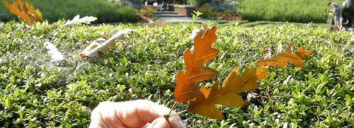 amber oak leaf cropped