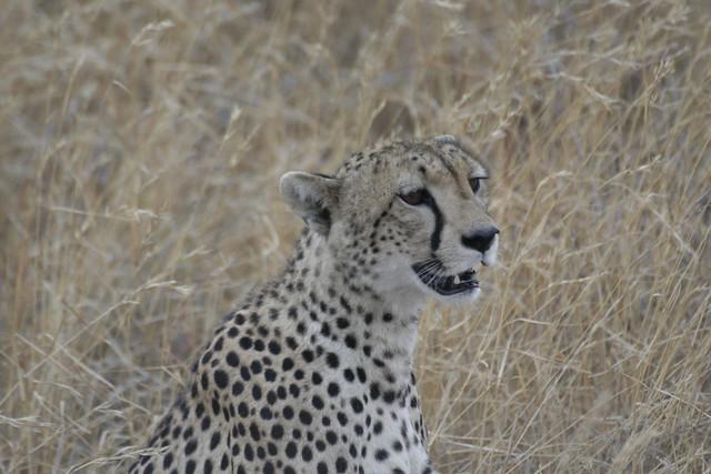 Cheetah at breakfast after killing a Bohor Reedbuck - Serengeti, Tanzania