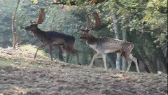 Fight Club (Edgar Thissen) Tags: nature canon movie eos video fight stag wildlife deer 7d fallowdeer hert bellow damhert edgarthissen