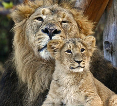 Father & son (Gary Wilson แกรี่ วิลสัน) Tags: england london nature animal cat canon photography zoo cub photo foto leo britain wildlife lion panther lioncub londonzoo zsl eos50d garywilson 70300do pantherleo vosplusbellesphotos