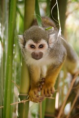 Squirrel Monkey looking at me