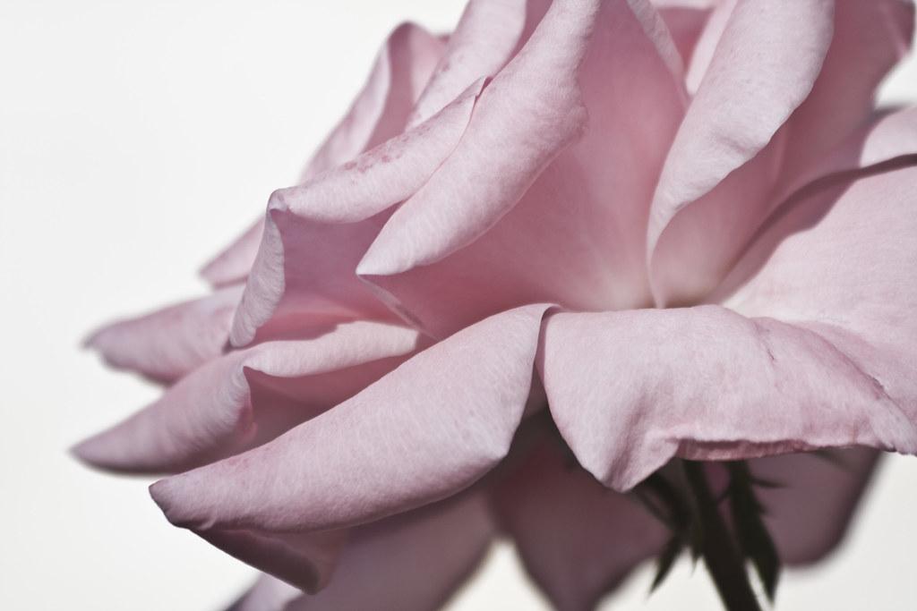 Rosa Old Blush #3