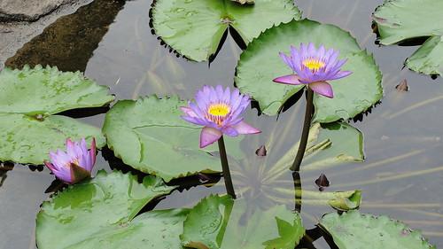 Nelum (Lotus)